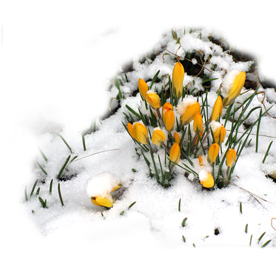 Crocus and snow