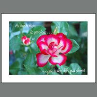 SPC-008 Anniversary Rose